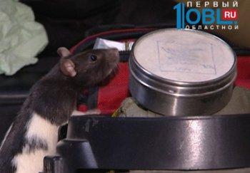 Крыса-сапер, выдрессированная в Челябинске, заменит людей на опасной работе