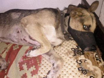 Челябинцы требуют наказать живодера, подстрелившего собаку