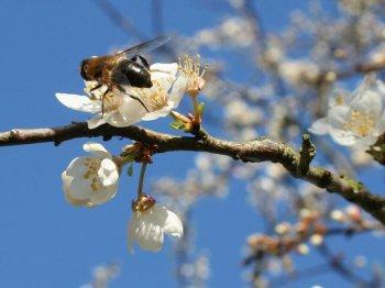 Советы садоводам. Как защитить плодородные деревья от пчёл