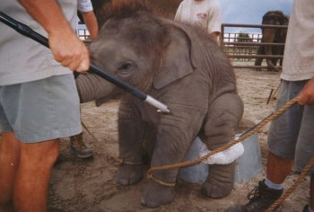 Как дрессируют слонов. Вся правда о цирке