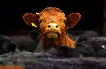 Исследование показало, что коровы на «семейных» фермах тоже несчастны