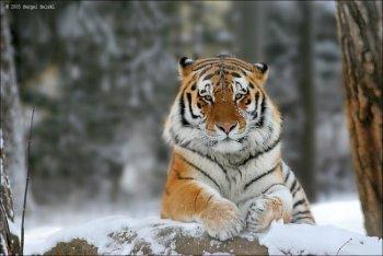Свыше четырех тысяч южноуральцев поддержали социальный проект «Амурский тигр»