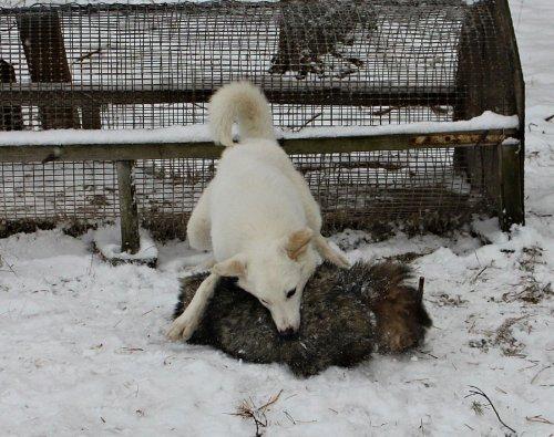 Собаководы Челябинской области хотят превратить День Победы в день садизма