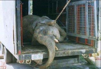 Известная российская модель проведёт сегодня акцию в защиту слонов