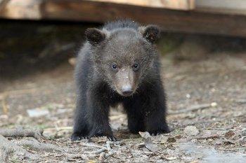 Ради пиар-акции циркачи в Анапе протащили медвежонка на капоте едущей на скорости машины