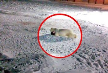 Центр защиты прав животных «ВИТА» требует привлечь виновных в убийстве белой медведицы к ответу