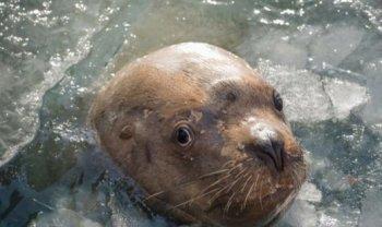ВИТА требует экстренного расследования жестокого убийства сивуча - морского льва