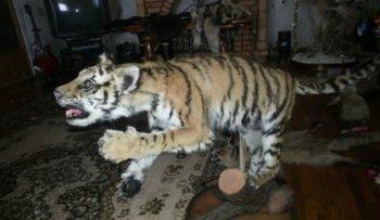 В Челябинске ищут браконьера, продававшего чучело амурского тигренка